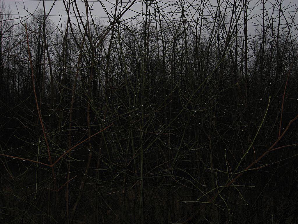 Капли, повисшие на кустарнике